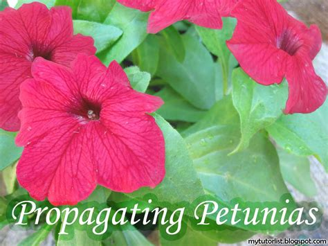 how to maintain petunias how to propagate petunias from cuttings behind mytutorlist com