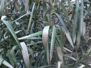 Oleander Im Winter : oleander gesch digt pflanzenkrankheiten sch dlinge green24 hilfe pflege bilder ~ Orissabook.com Haus und Dekorationen
