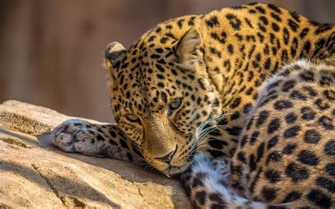 Leopard Animal Wallpaper - animals leopard photos free hd wallpapers