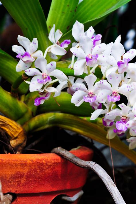 blooming orchids blooming orchids of the month from hawaii