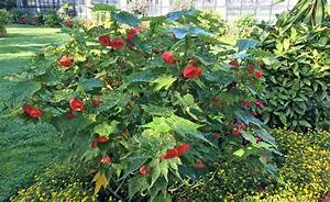 Fuchsien Stecklinge Kaufen : wunderbare sch nmalve berwintern stecklinge und pflanzen ~ Michelbontemps.com Haus und Dekorationen