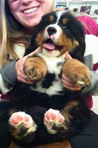 Bernese Mountain Dog Size | www.pixshark.com - Images ...
