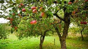 Baum Kleiner Garten : apfelb ume pflanzen und pflegen ratgeber garten nutzpflanzen ~ Orissabook.com Haus und Dekorationen