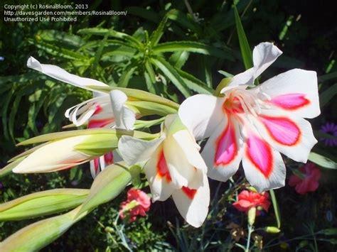 plantfiles pictures hardy gladiolus gladiolus