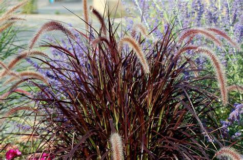 grow purple fountain grass   north