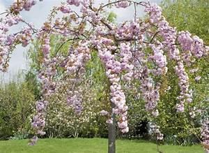 Planter Un Cerisier : comment planter le cerisier fleurs ~ Melissatoandfro.com Idées de Décoration