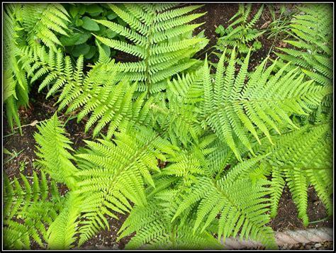 what is a fern plant mark s veg plot ferns