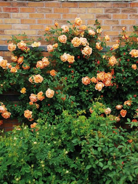 beautiful easy  grow climbing roses   garden hgtv