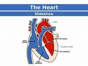 The Human Circulatory System  U2013 Living Environment Ms