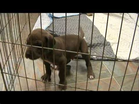 Smores Chocolate Brown Great Dane Puppy You