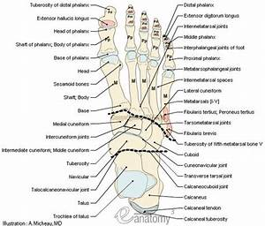 Bones-joints-foot-anatomy-muscular-attachment-human-anatomy-en Medical512