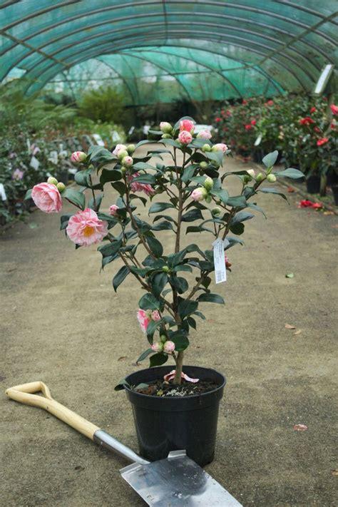 camellia japonica comtesse lavinia maggi