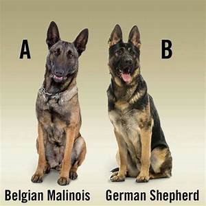17 Best images about Belgian Malinois on Pinterest | Osama ...