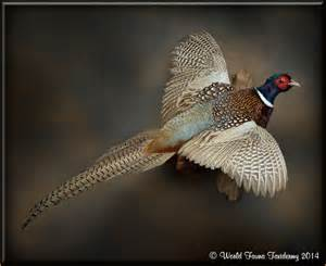 Flying Pheasant Mounts for Sale
