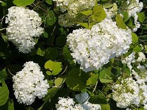 Baum Mit Weißen Blüten : zierstr ucher der zierstrauch ~ Michelbontemps.com Haus und Dekorationen