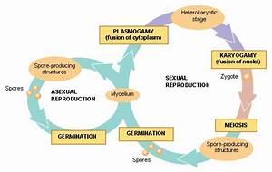 Amanita Muscaria  Life Cycle  U0026 Reproduction