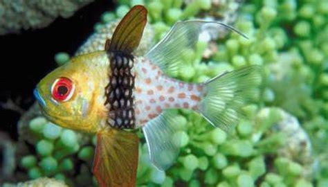 pajama cardinalfish    animals momme