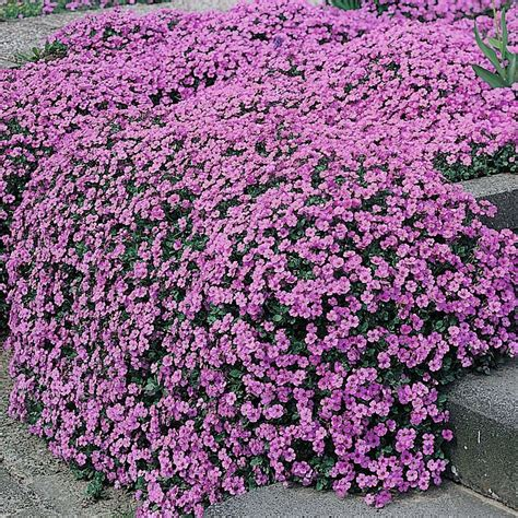 ground cover purple rockcress aubrieta purple jem dwarf ground cover 25 perennial seeds ebay