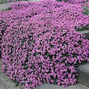 ROCKCRESS 'Aubrieta' ~Purple Jem~ Dwarf Ground Cover 25 ...