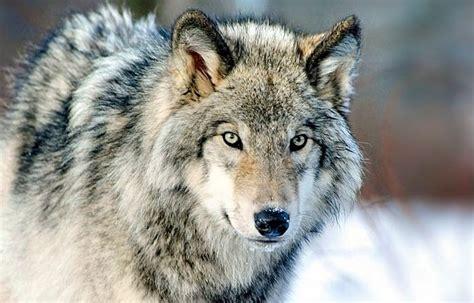 wwf italia  allabbattimento legale del lupo
