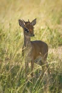 Baby Dik Dik Antelope