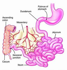 Bile Flow  Bacteria  And Chronic Inflammation