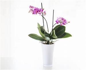 Rempoter Une Orchidee : orchid e floraison soins et conseils d 39 entretien ~ Mglfilm.com Idées de Décoration