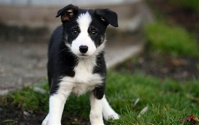 Collie Border Wallpapers Puppy
