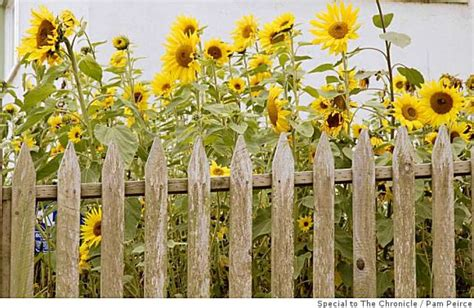 flowers to plant in late summer plenty of cutting flowers can be planted late sfgate