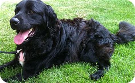 Finnegan Adopted Dog D  Mt Prospect Il Newfoundland Bernese Mountain Dog Mix