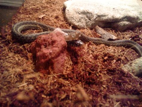 How Often To Snakes Shed by Is Shedding Normal For Reptiles By Tonyslack11222