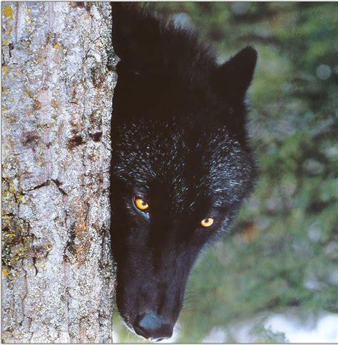 Black Wallpaper Of Wolf by Black Wolf Hd Wallpapers Black Wolf Desktop Hd