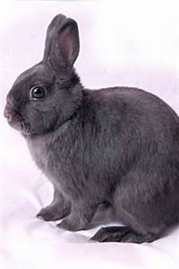 Facts About Dwarf Rabbits HealthGuidance
