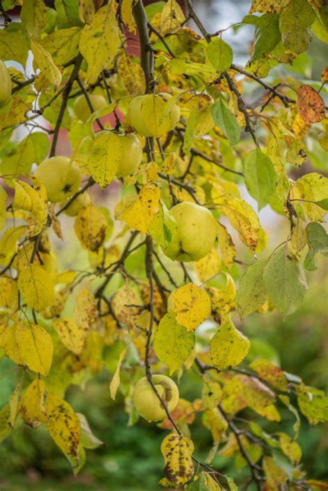 gelbe blaetter  apfelbaum woher kommen sie