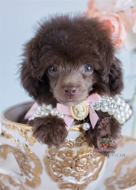 toy poodle puppies south florida teacups puppies boutique
