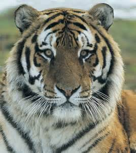 Siberian Tigers Are Endangered