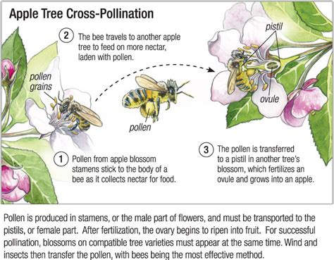 apple tree cross pollination guide