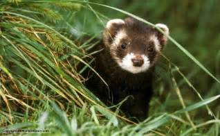 pole cat nature polecat news and facts