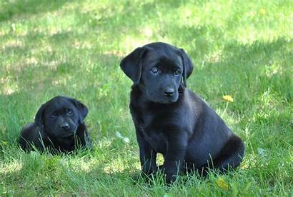 Lab Puppies Puppy Labrador Desktop Retrievers Retriever