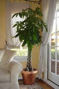 Geldbaum Feng Shui : gro e gl ckskastanie zur begr nung der zimmerecke pflanzenfreude zimmerpflanze ~ Bigdaddyawards.com Haus und Dekorationen