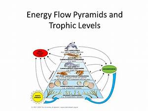 Why Is A Diagram Of Energy Flow From Trophic Level To