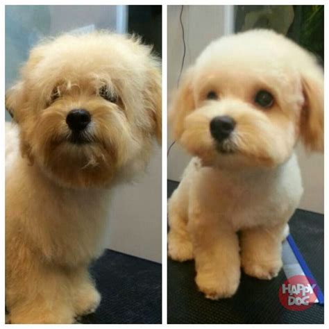 does maltipoo shed hair image gallery maltipoo haircuts