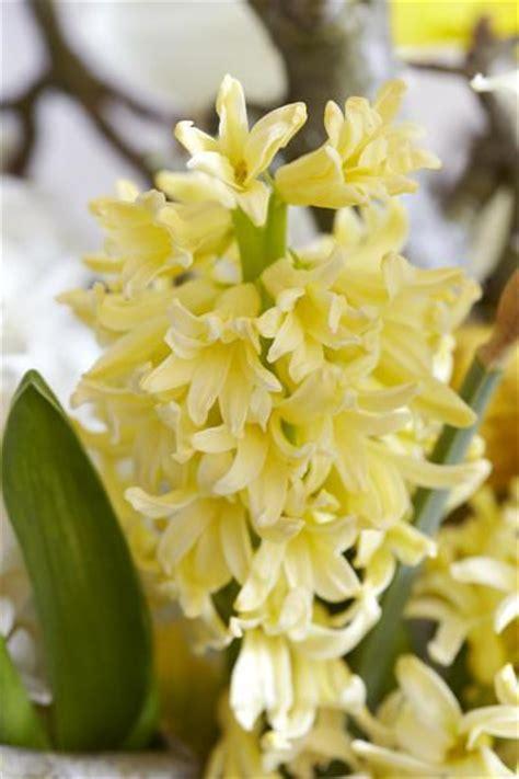 how to grow hyacinth growing and caring for hyacinth bulbs