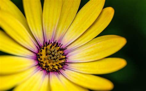 wallpaper gerbera daisy yellow hd  flowers