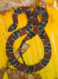 Fer De Lance Wow : a cool false coral snake in costa rica animal stories pinterest in coral and snakes ~ Medecine-chirurgie-esthetiques.com Avis de Voitures