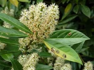 Stickstoffmangel Bei Pflanzen : kirschlorbeer tr gt gelbe bl tter mein sch ner garten ~ Lizthompson.info Haus und Dekorationen
