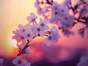 Giappone Hanami e i ciliegi in fiore Non c'è nulla di