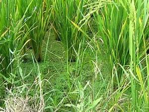 SRI Azolla in Kottur village, Andhra Pradesh - YouTube