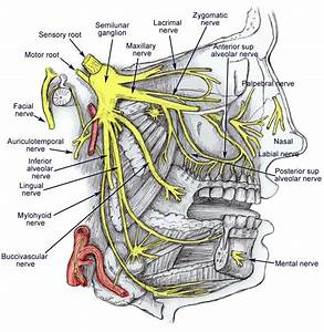 Nerves Of The Face   Trigeminal Neuralgia