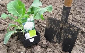Planter Des Choux Fleurs : planter les choux fleurs ~ Melissatoandfro.com Idées de Décoration